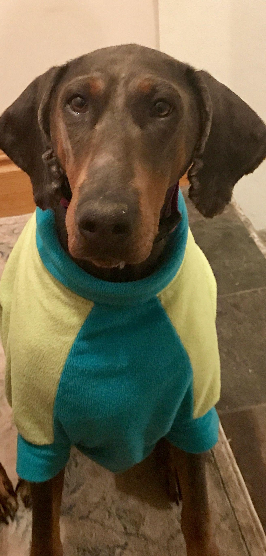 Doberman Pinscher dog for Adoption in Minneaoplis, MN. ADN
