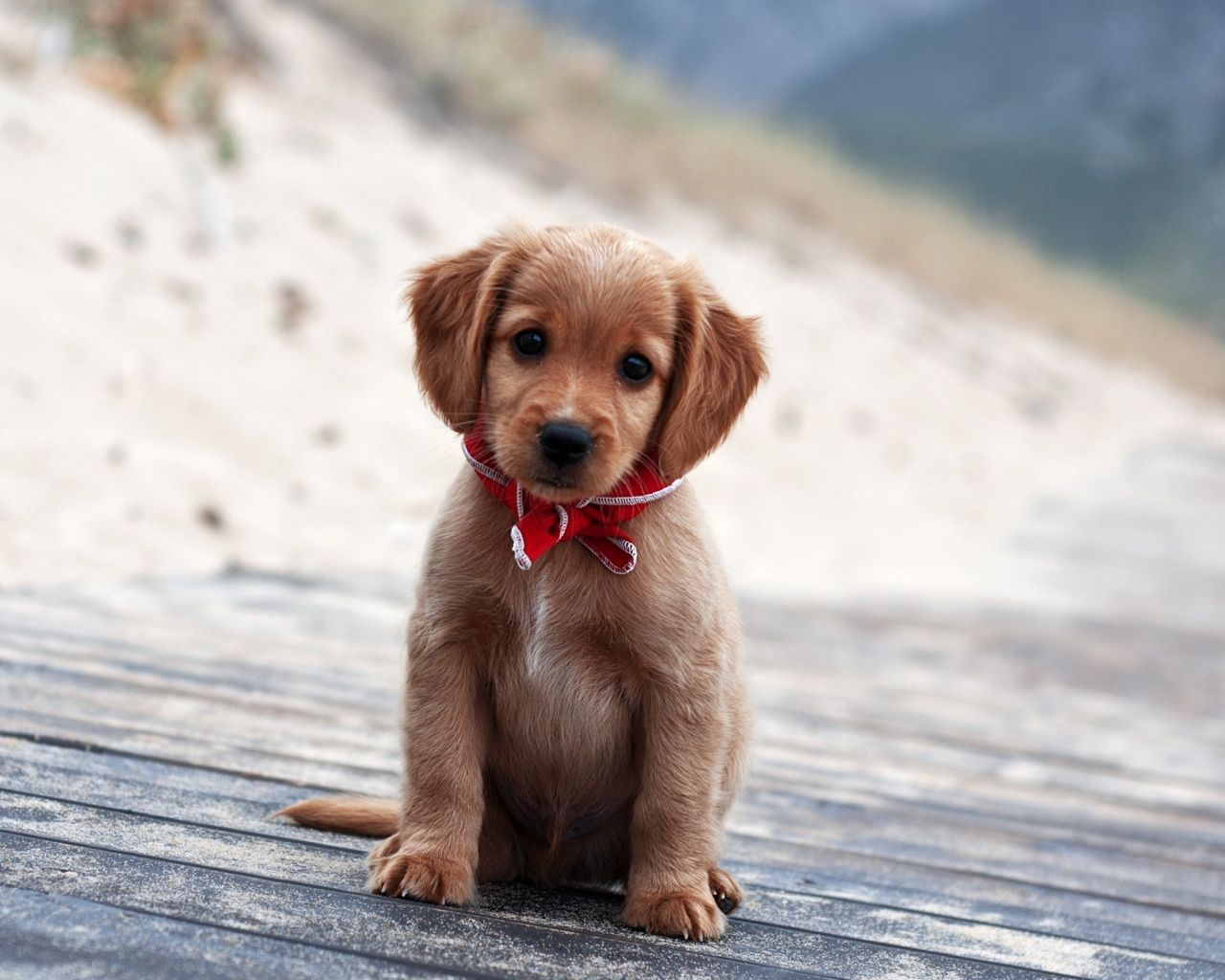 Download Wallpaper Bow Adorable Dog - 77e60f5b9152a5a9b70312071e306f23  Collection_19649  .jpg