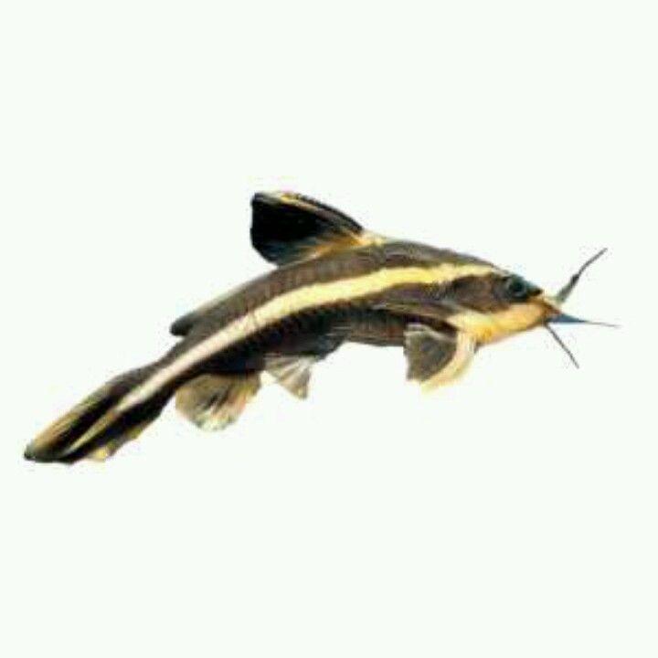 Striped Raphael Catfish Pet Fish Catfish Diy Fish Tank