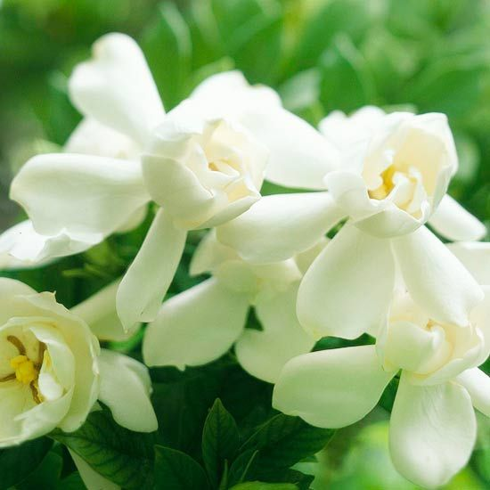 The best fragrant flowers for your garden gardenias white flowers flower mightylinksfo Images