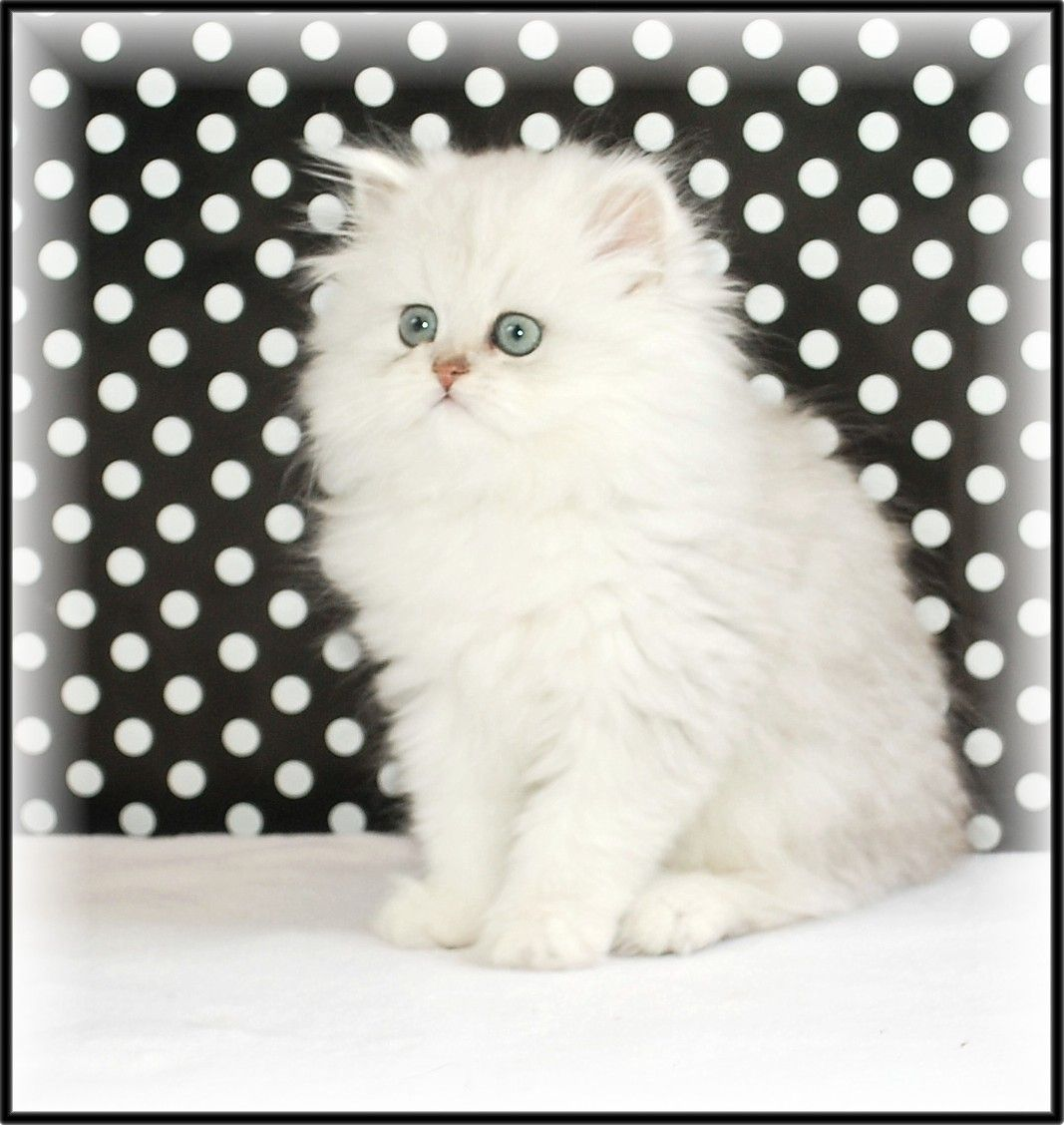Silver Shaded Persian Teacup kitten, Pretty cats, Cute