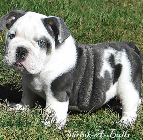 French Bulldogs And Baby Bulldog Cute Animals Blue English