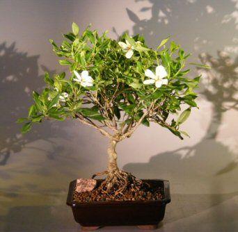 Flowering Gardenia Bonsai Tree Large Jasminoides Miami Supreme
