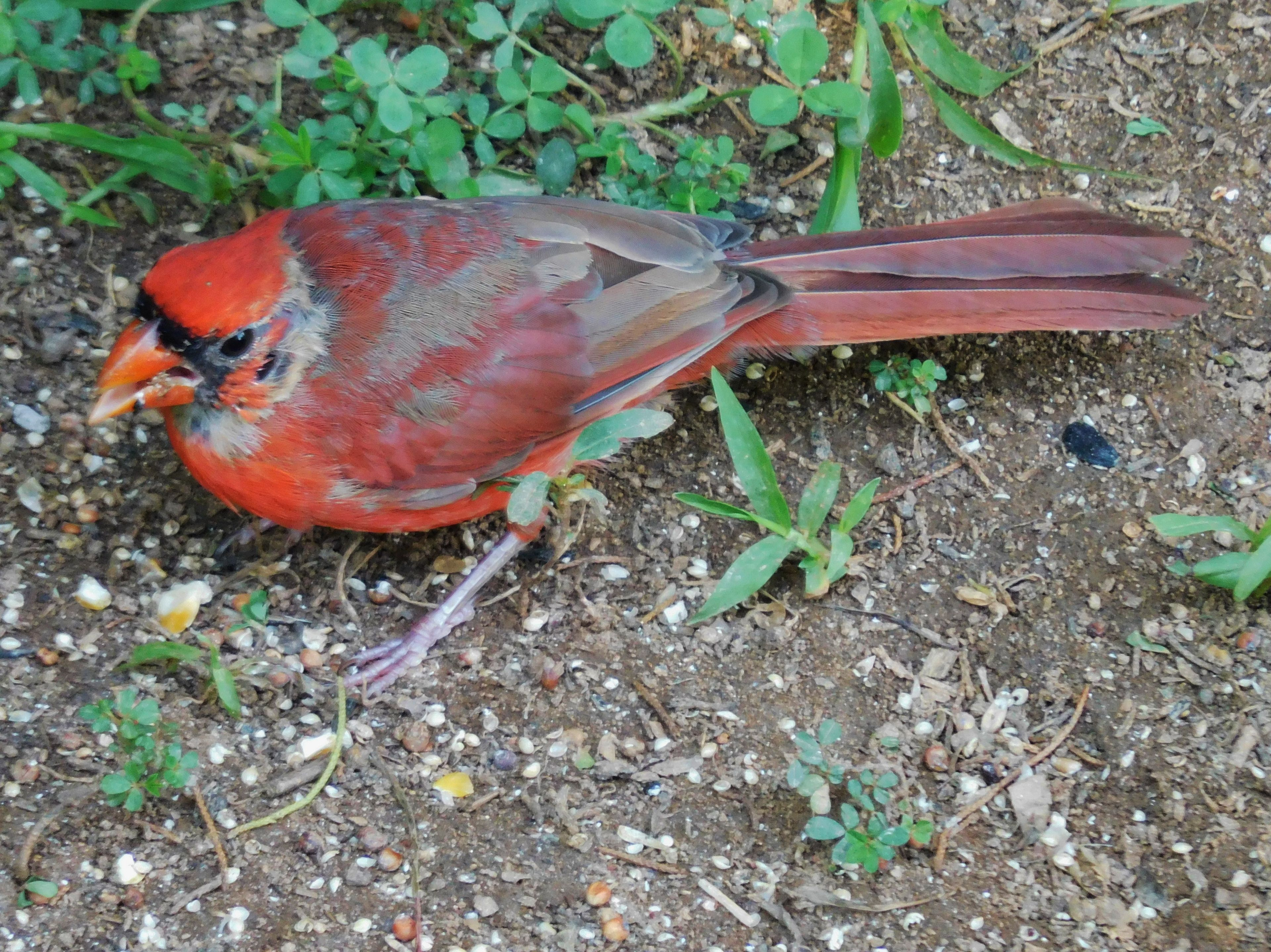 Molting Cardinal Nature View Nature Male