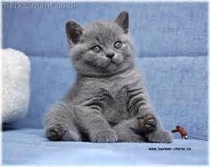 I Soooo Want This Kitty Au Pure Bred And Pedigree British