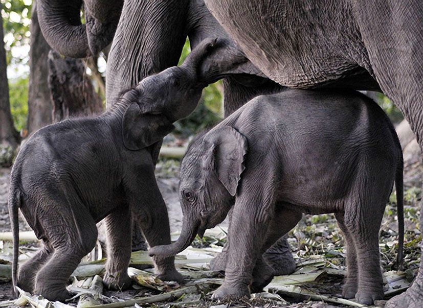 one day old twin female elephants