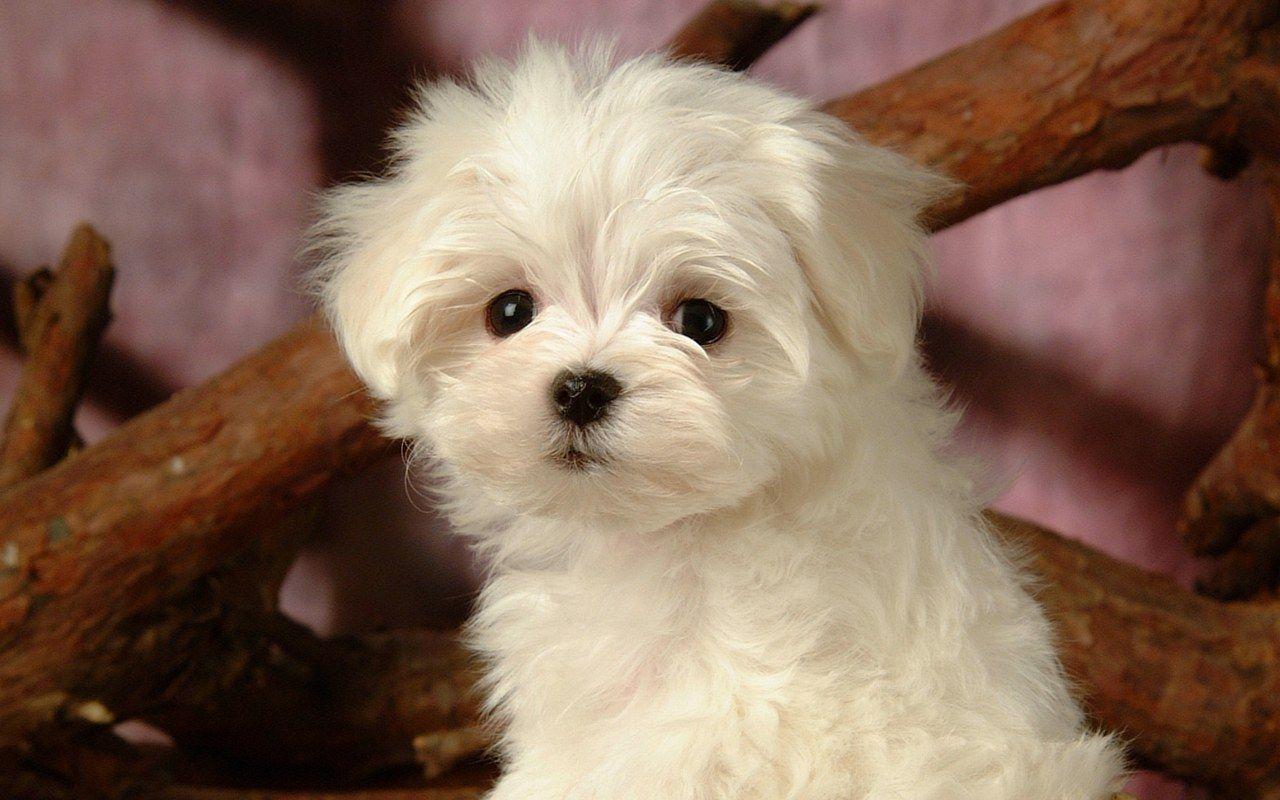 Top 10 Non Shedding Dogs Dog Breeds Small Non Shedding Top Dog