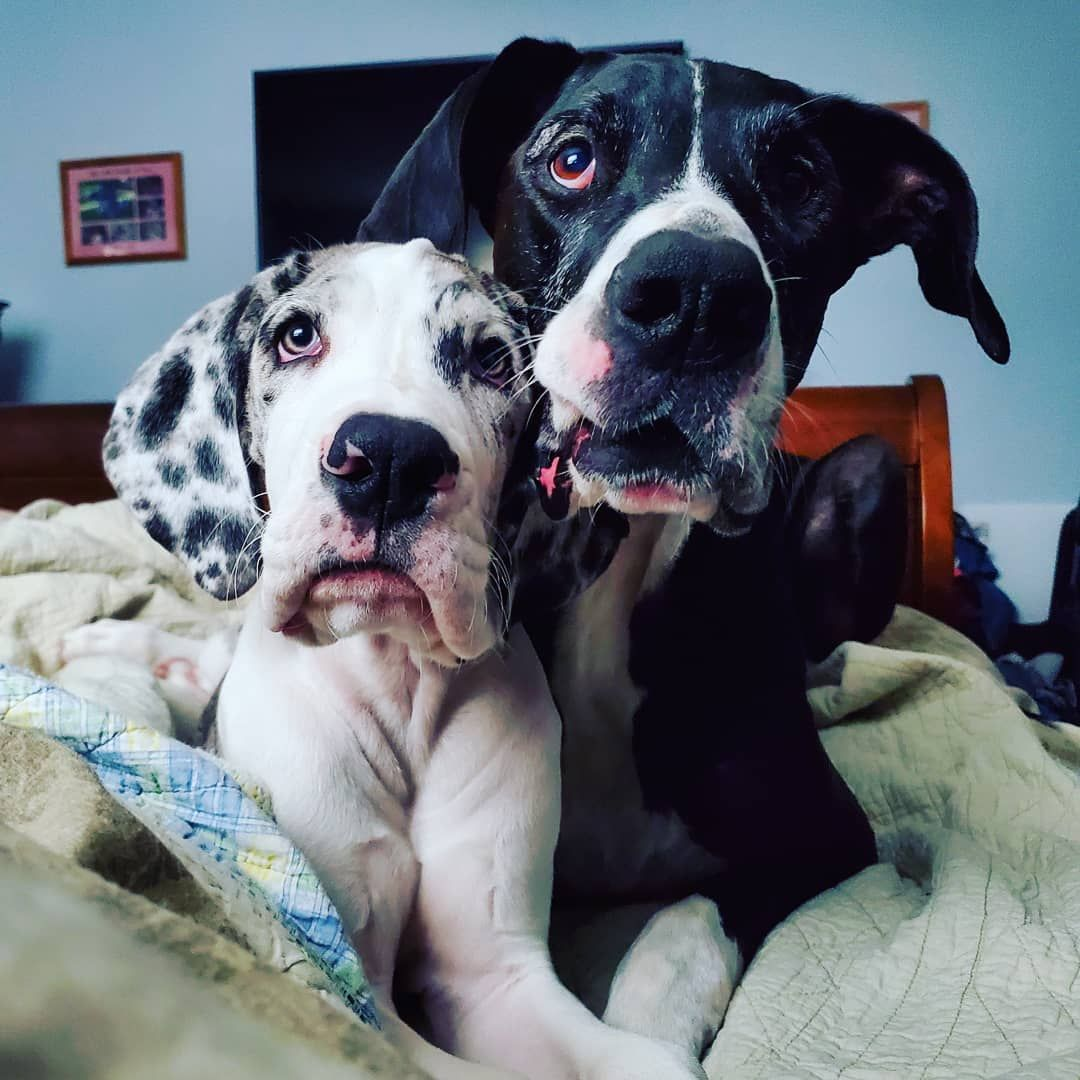 Littlehorse Great Danes Al Capone Large Dog Breeds Big Dogs