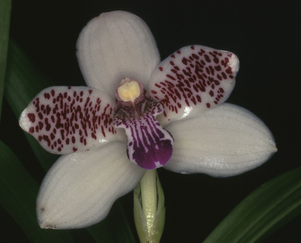 Orchid: Pabstia jugosa - A medium-sized, cool to hot-growing, epiphytic or lithophytic species from altitudes of 700 meters and up in the Serra Do Mar from Espiritu Santo to Santa Catarina Brazil in shady and humid locations.