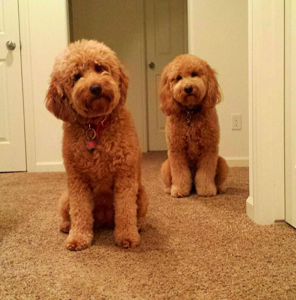 Twins?!? Yes! 2 English Medium Goldendoodles - Moss Creek ...
