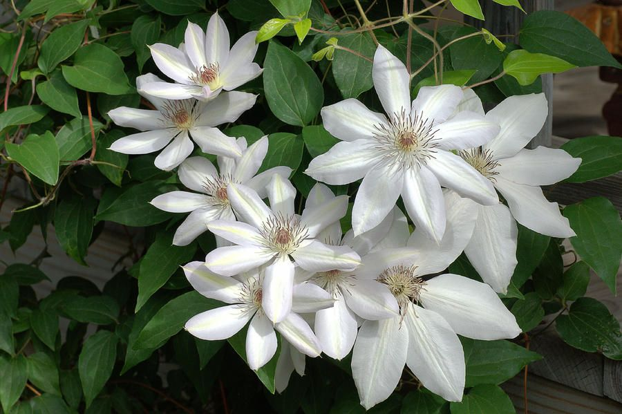 white-clematis-robert-suits-jr.jpg (900×599) | Flowers ...