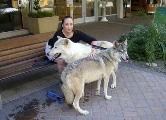 German Shepherd Wolf Hybrid Puppies For Sale Cute Puppies Exotic