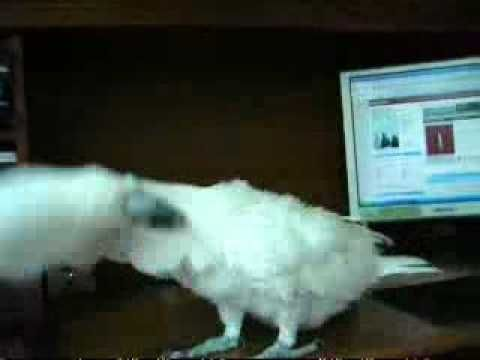 A Parrot Dancing to heavy metal song - YouTube