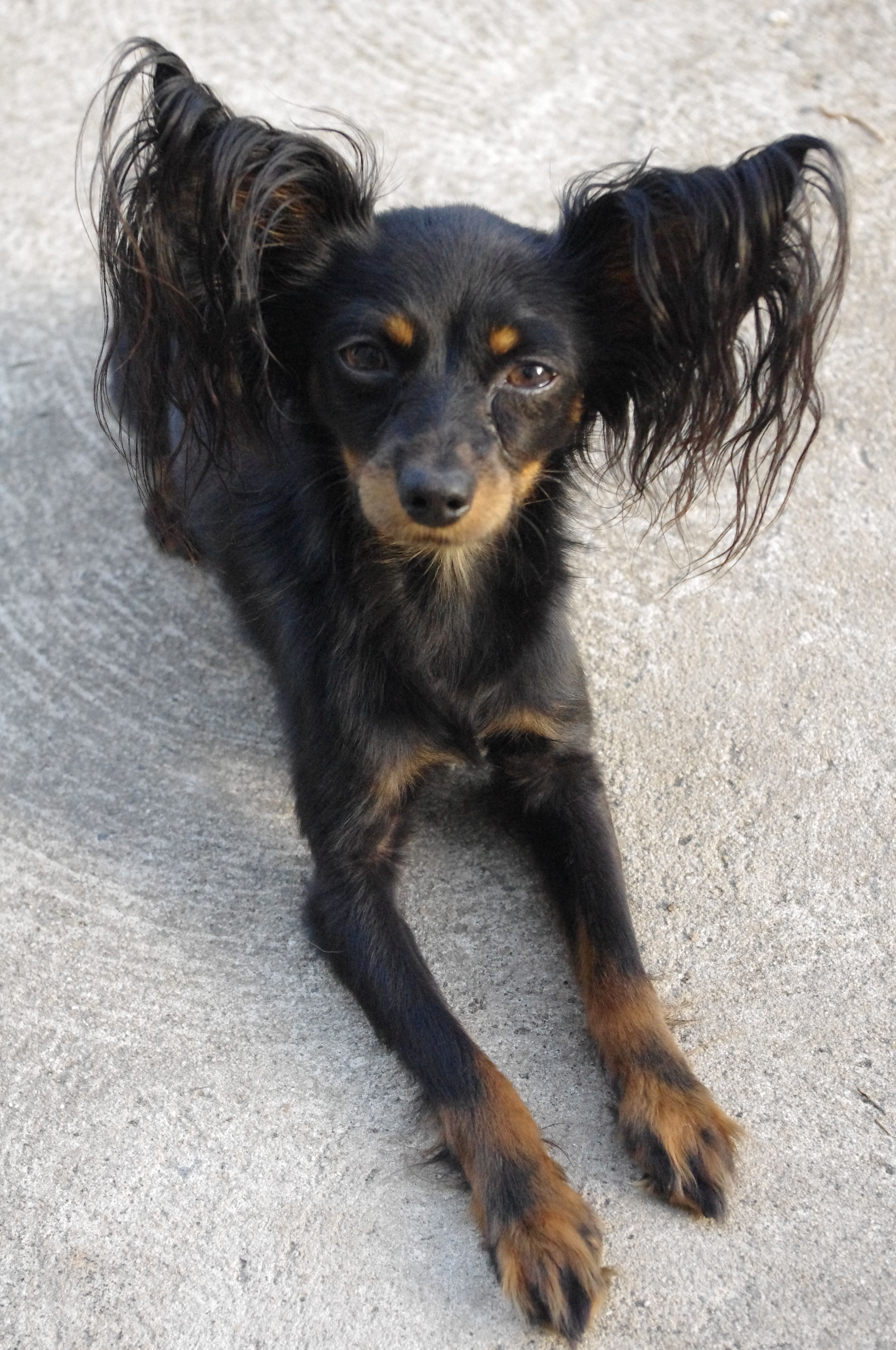 Pin On Mes Petit Chien Russe Russkiy Toy Russian Toy Terrier