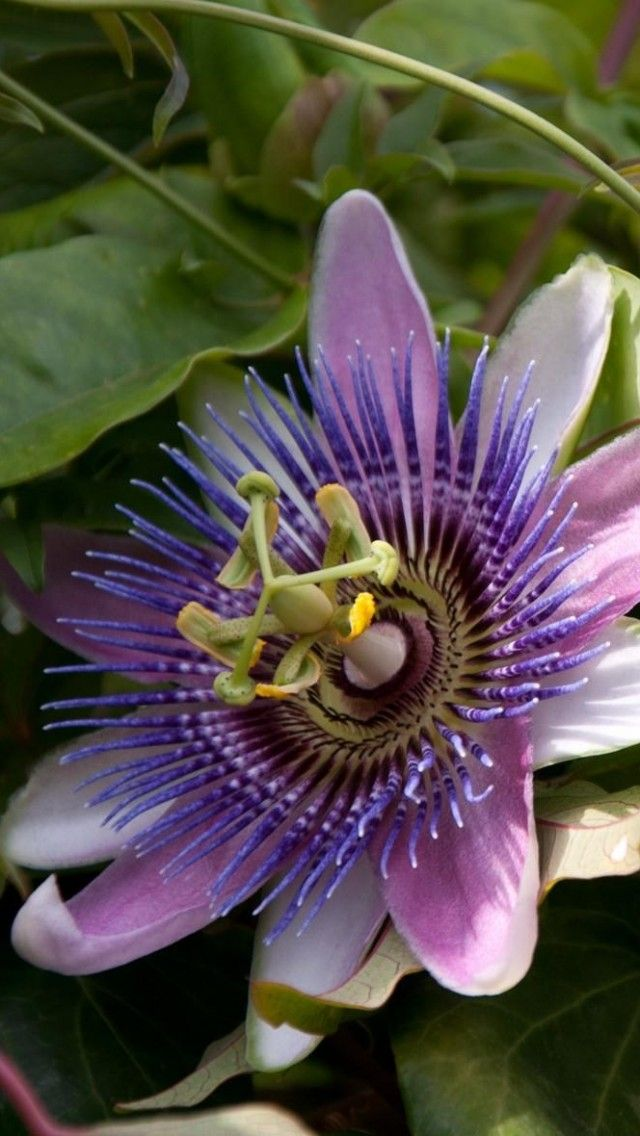 Passionflower Flowering Green Sunny Passion Flower Amazing Flowers Plants