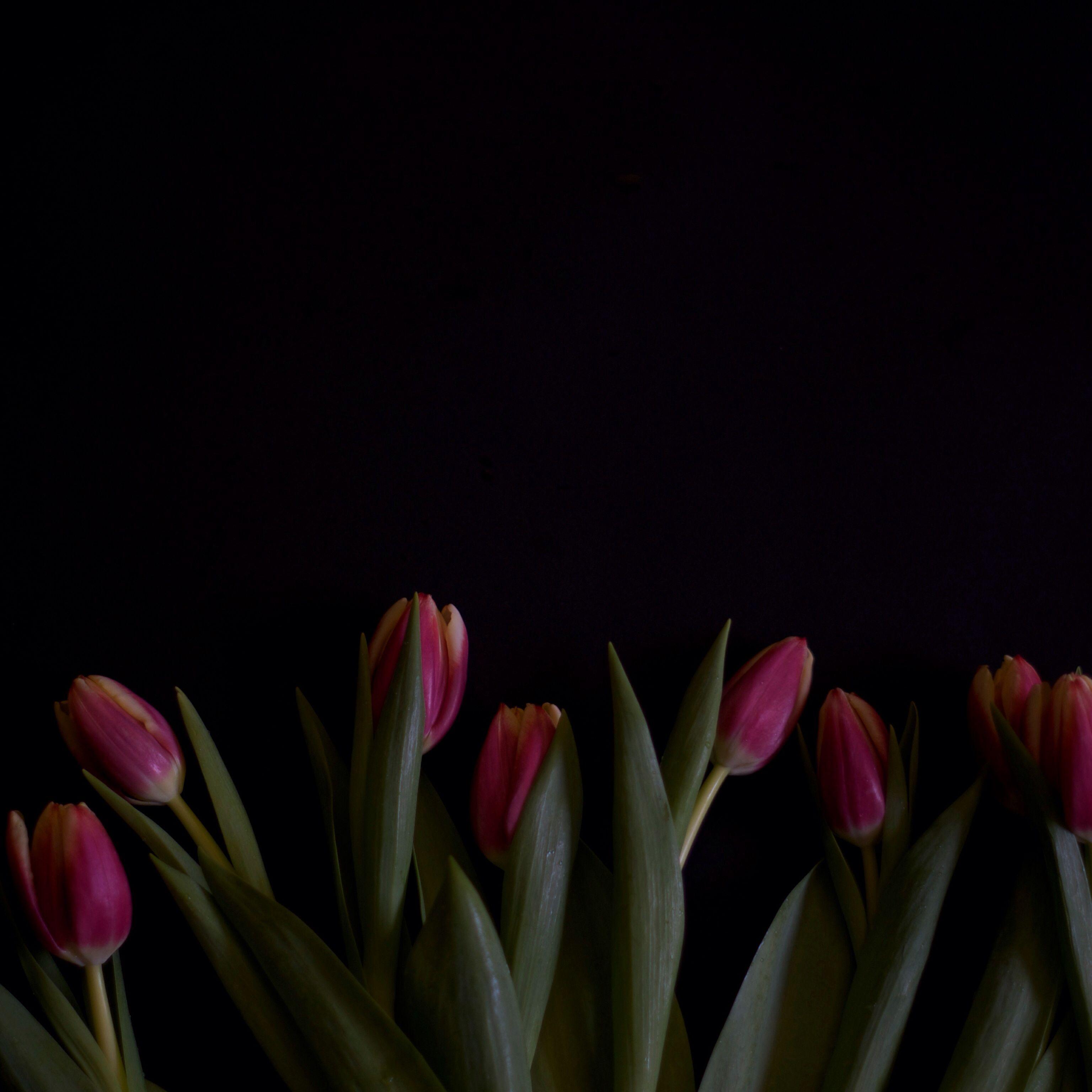 Pink tulips in the dark