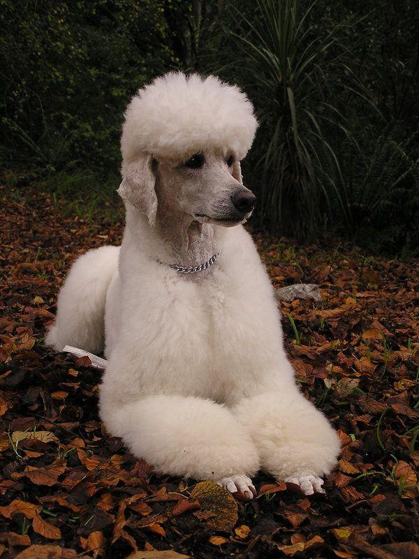 Resultado de imagen para poodle autumn
