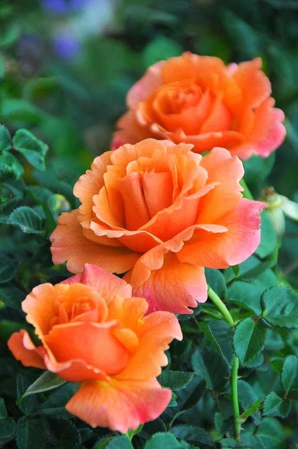 Love Garden Roses: The Greek Rose Garden @ Facebook.com/greekroses
