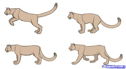 step 13 how to draw cougars mountain lion art pinterest