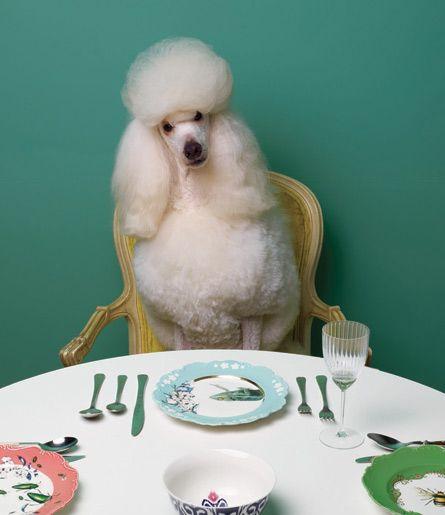 Resultado de imagen para poodle eat table