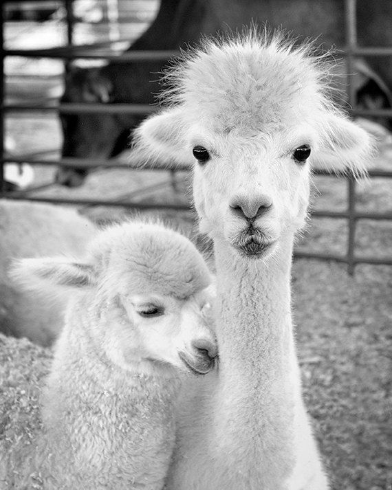 Animal photography alpaca print mother child alpaca baby animal art print black white photo animal wall decor 8x10 11x14