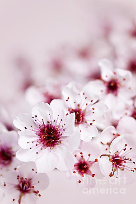 Cherry Blossom Flowers Flower Aesthetic Cherry Blossom Art