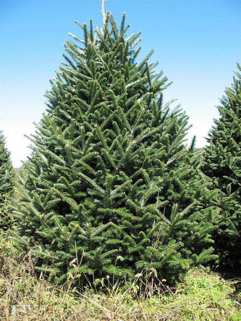 Pin on Buyable Pins Real, Live Christmas Trees and Hand