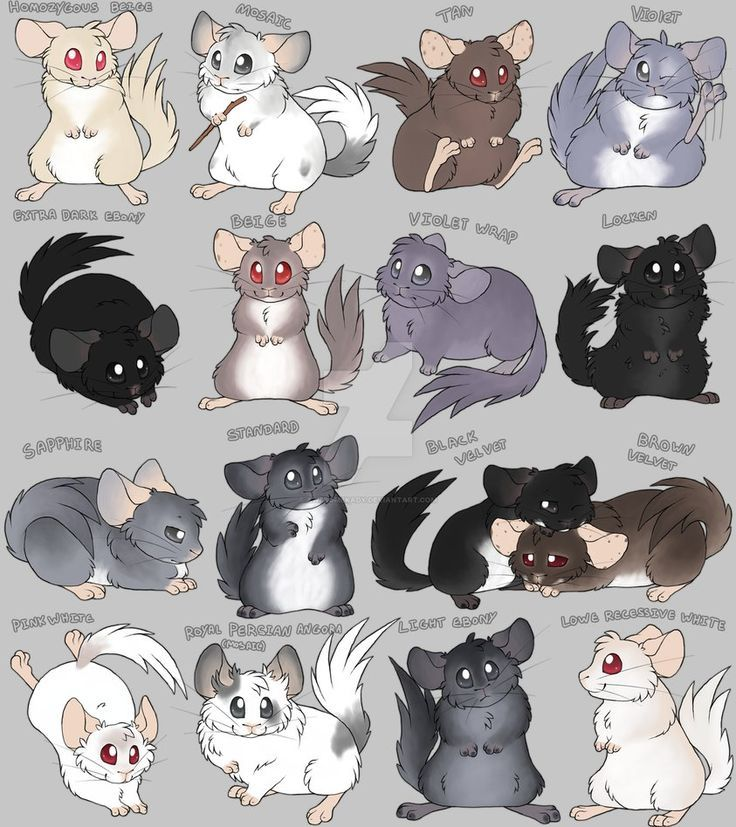 Chinchilla Colors Cartoon by AwesomeKady Chinchilla \u003c3
