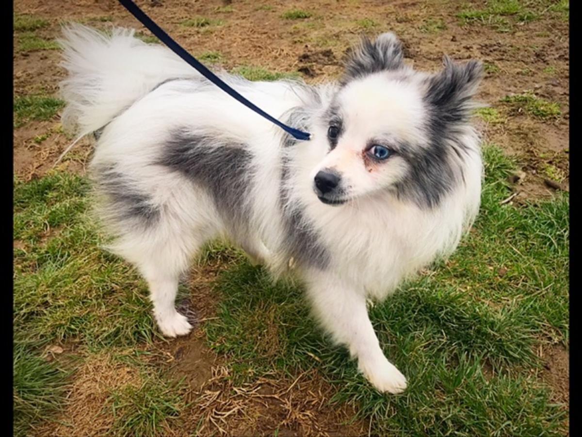 Beautiful Akc Registered Pom Stud In Hoobly Classifieds Pomeranian For Sale Pomeranian Blue Merle