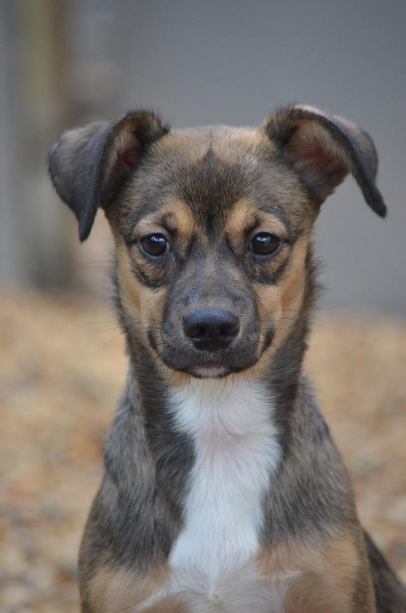 Adopt Reese On Animal Welfare League Chihuahua Pets
