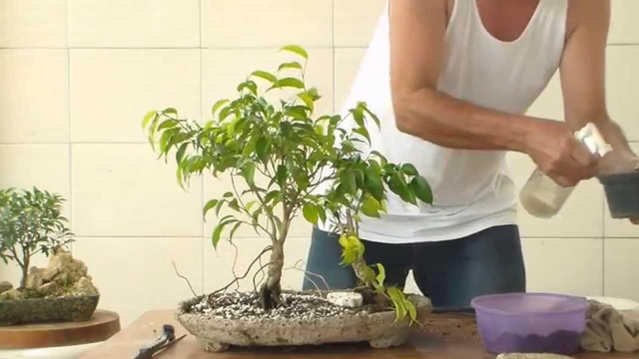 Bonsai - Ficus p/ Iniciantes - Bonsai com menos de 50 Reais
