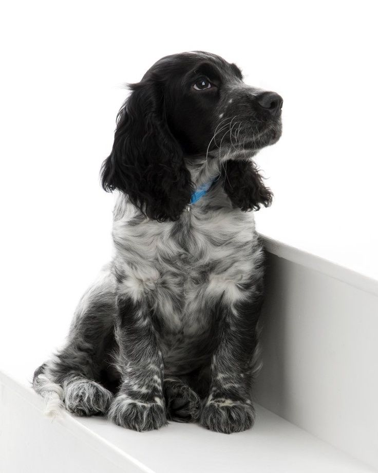 So Cute Black Roan English Cocker Spaniel Cocker Spaniel