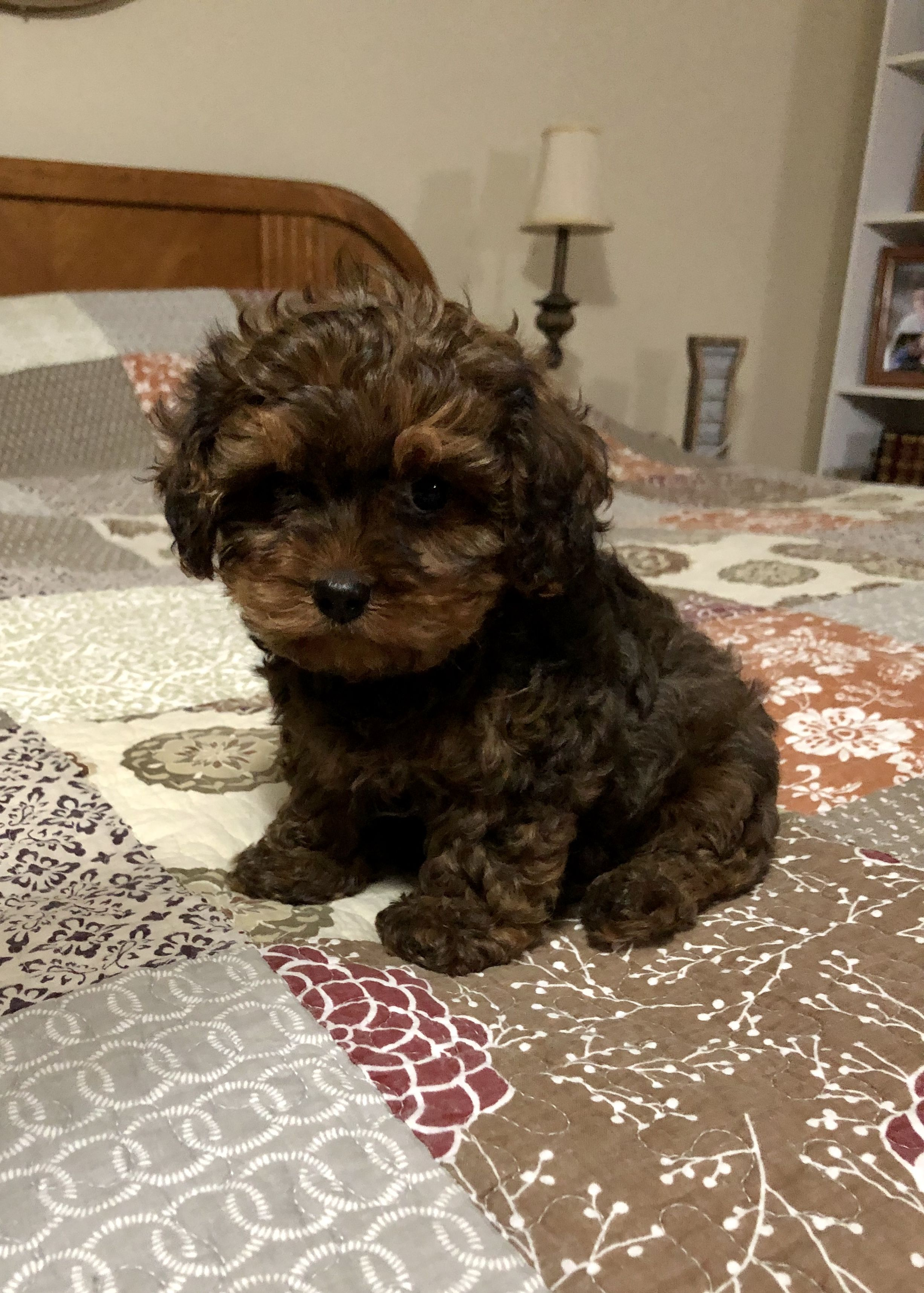 Ricky male Cavapoo pup for sale in Bolivar, Missouri