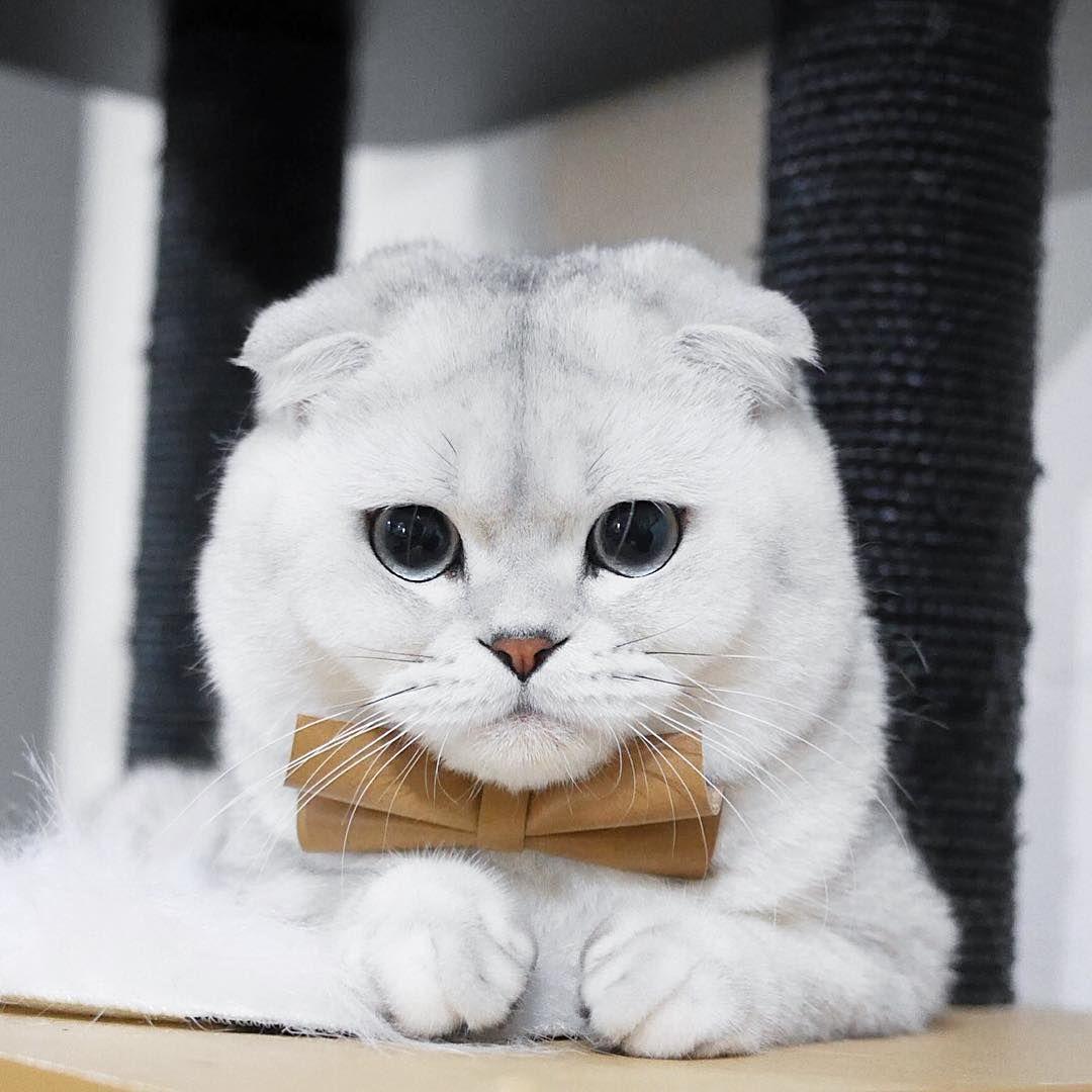 Beautiful Scottish Fold Cute Cats Cat Scottish Fold Cute Cats And Dogs