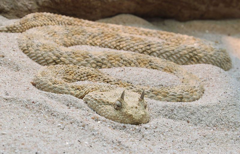 Saharan horned viper, or horned desert viper,(Cerastes cerastes) is a venomous viper species native to the deserts of Northern Africa and parts of the Middle East. They often are easily recognised by the presence of a pair of supraocular horns, although hornless individuals do occur.