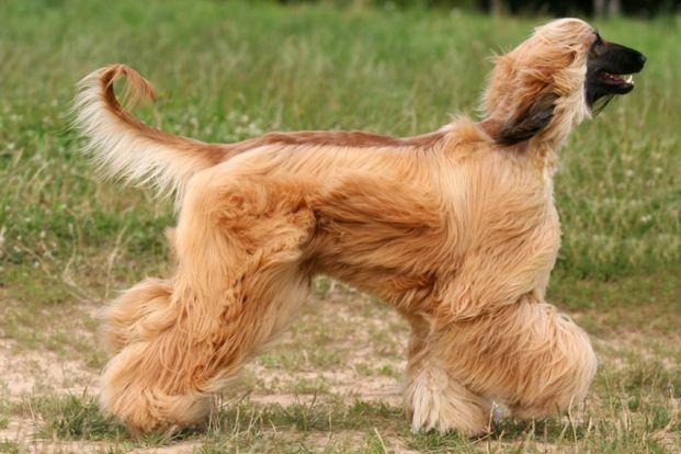 Afghan Hound Long haired dog breeds, Afghan hound, Dog