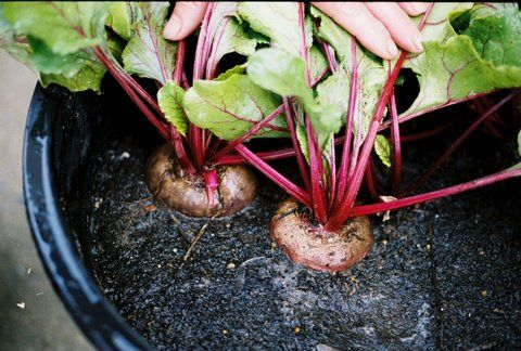Can Beets Be Grown In Pots Gardening Channel Growing Beets Indoor Gardening Supplies Container Gardening