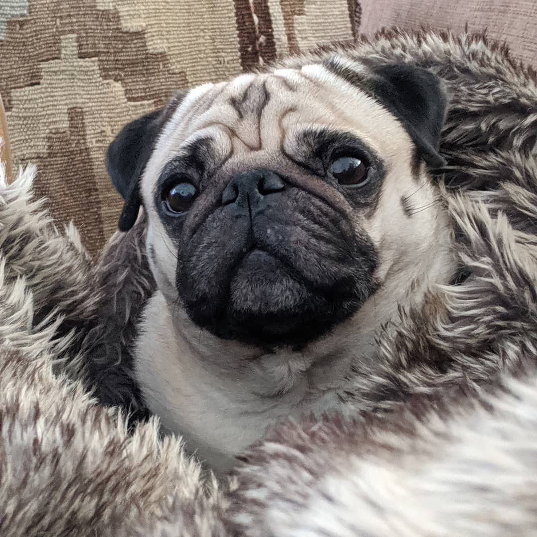 Cozy Pug On A Cold Day Twogirlsandapug Bertjethepug Mopshond