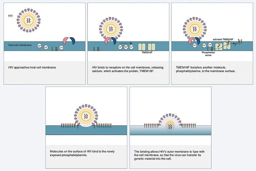 Hiv Diagram Hiv Aids Information Cells Tissues National
