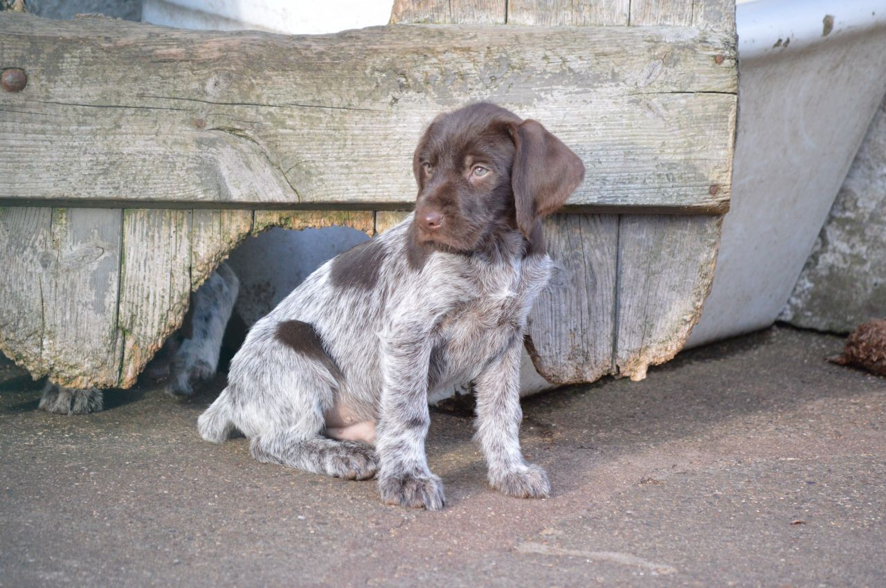 German wirehaired pointer puppy for sale jedburgh