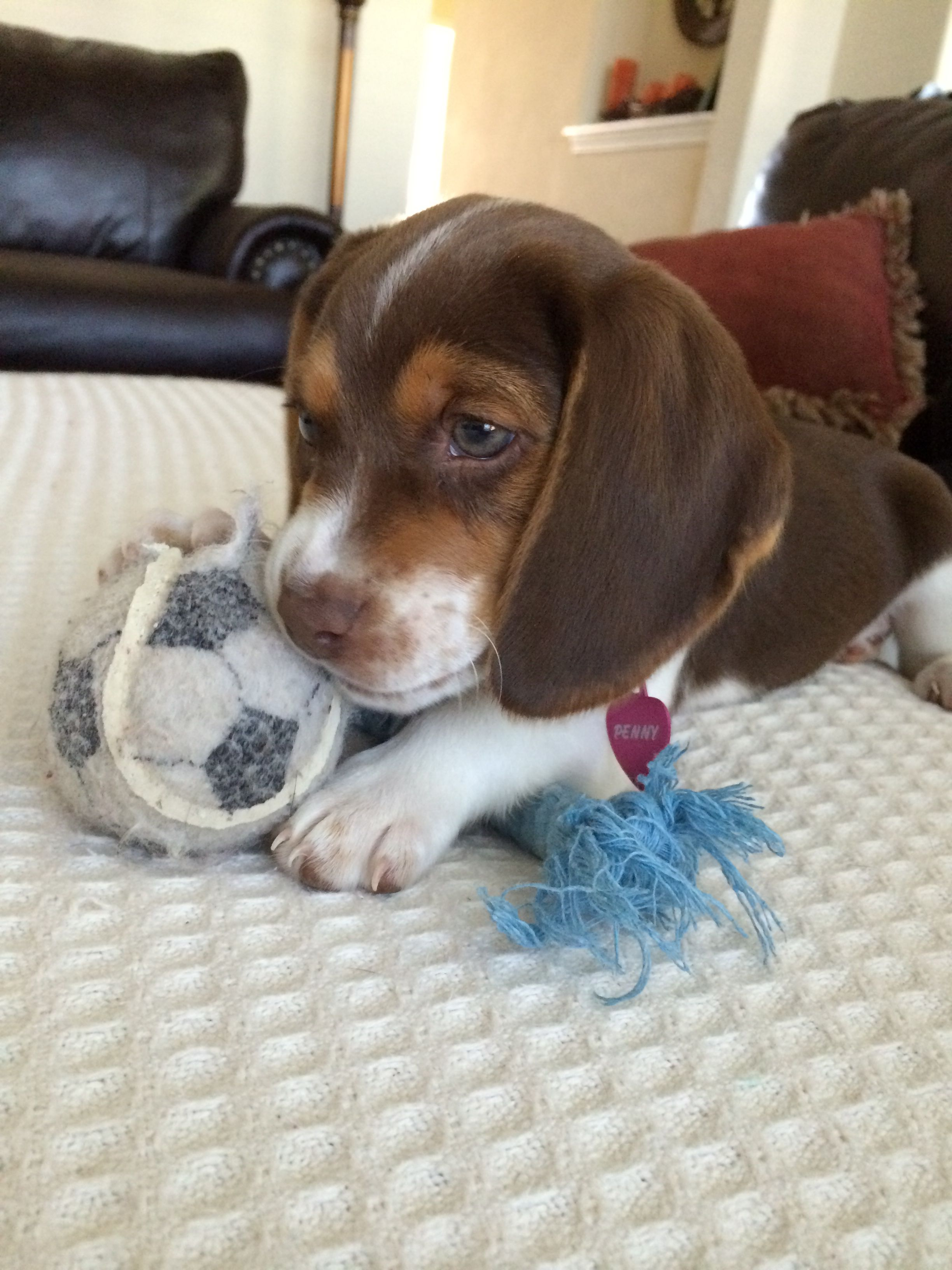 penny our 8 week old chocolate beagle puppy  i think she u0026 39 s