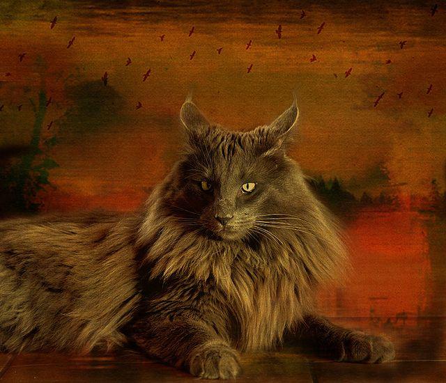 Silberian Cat Photos Hypoallergenic Siberian Forest Kittens Cat Photo Siberian Forest Cats