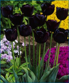 Tulip Queen Of The Night I Ve Always Loved Her Bulb Flowers Tulips Beautiful Flowers
