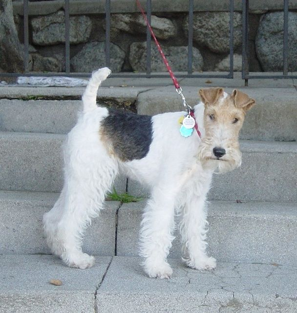 Pictures of Wire Fox Terrier Dog Breed. An elegant long-legged ...
