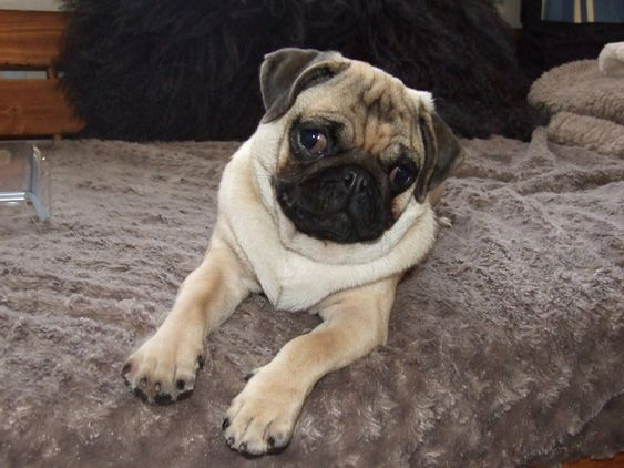 Teacup Size Pug Male For Sale Puppies Pugs Puppies For Sale