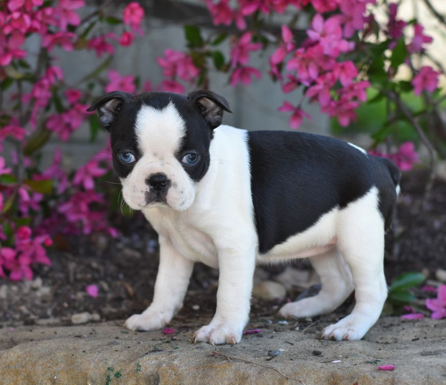 Meet Holly The Bostonterrier Holly Loves Human