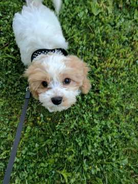 Cavachon Puppy For Sale In Pittsburgh Pa Adn 31910 On