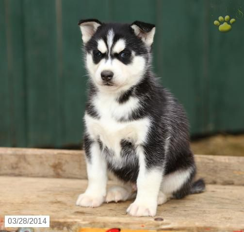 Avalanche Siberian Husky Puppy For Sale In Myerstown Pa