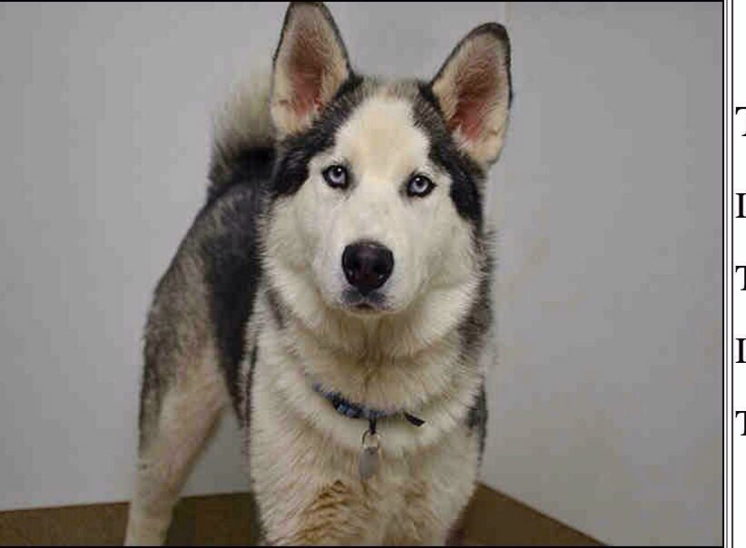 Founddog 32415 Aurora CO SiberianHusky or