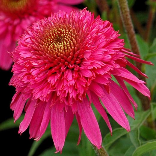 Echinacea secret affair coneflower secret affair pink echinacea secret affair coneflower secret affair pink coneflower pink coneflowers pink echinacea double coneflower double coneflowers mightylinksfo